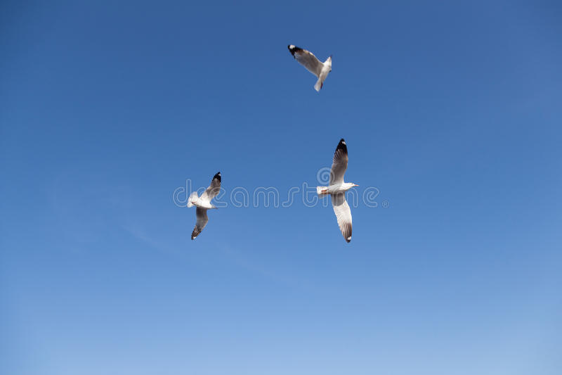 在天空的海鸥飞行 免版税库存图片
