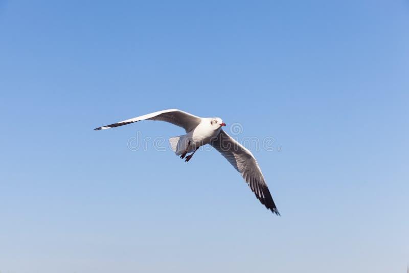 在天空的海鸥飞行 免版税图库摄影