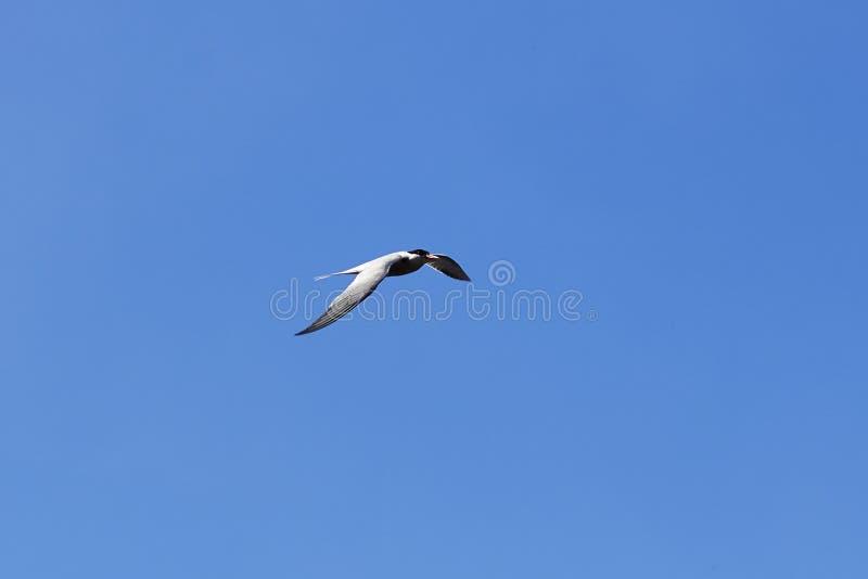在天空的海鸥 鸟在天空飞行 海鸥横跨天空飞行的海鸟 在飞行中鸟的照片 免版税库存图片