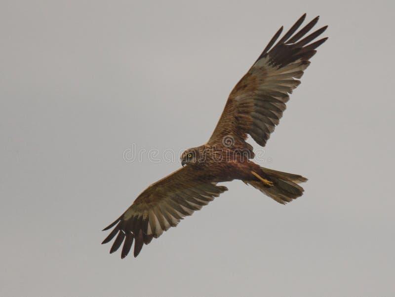 在天空的狩猎肉食 免版税图库摄影