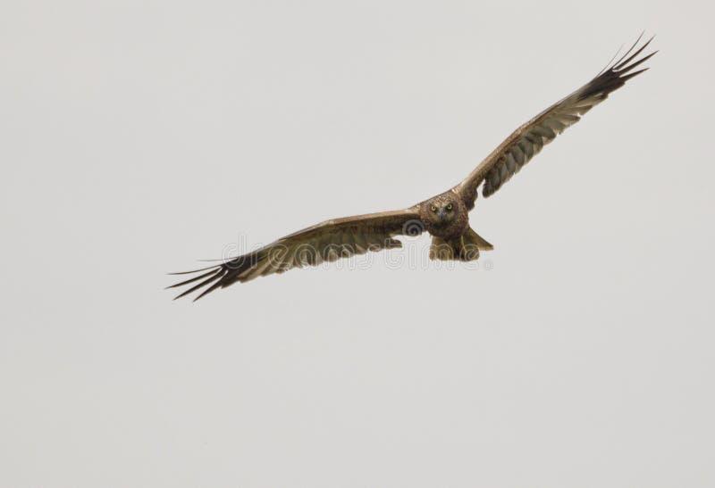 在天空的狩猎肉食 免版税库存照片