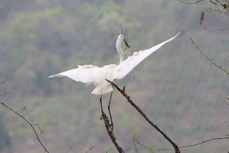在天空的白鹭飞行 免版税库存图片