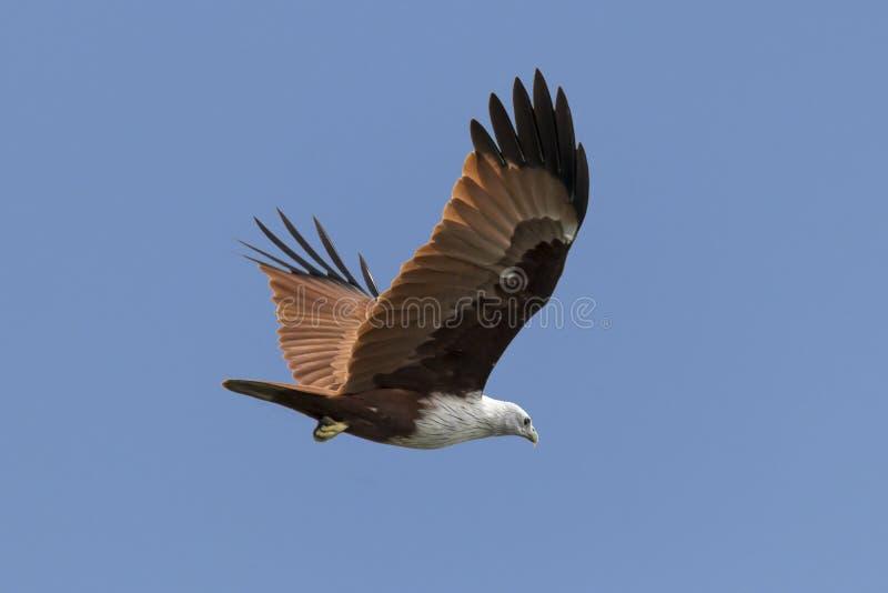 在天空的红色支持的海鹰从喀拉拉印度 免版税库存图片