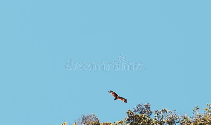 在天空的红色鹰飞行 库存照片