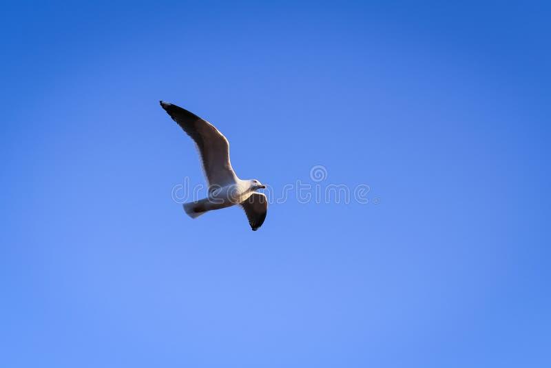 在天空的美好的海鸥飞行 免版税库存照片