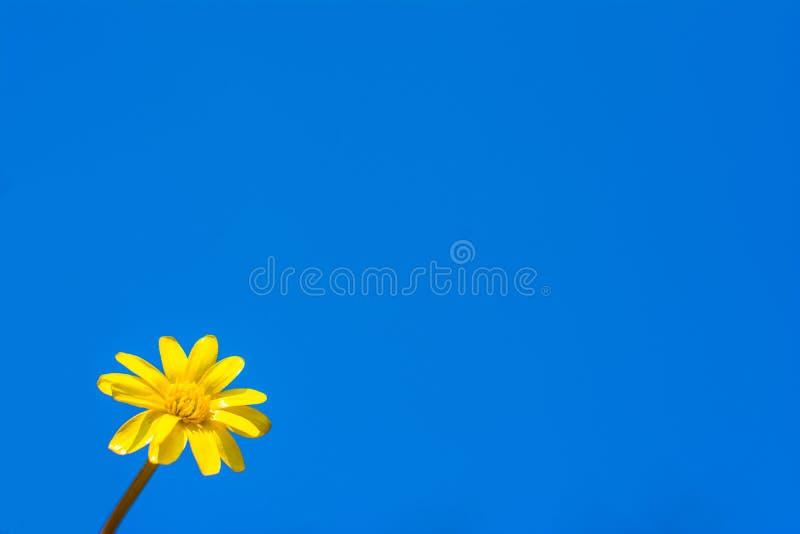 在天空的背景的春黄菊 Copyspace 库存照片