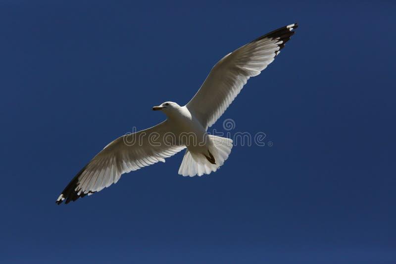 在天空的飞行海鸥 免版税库存照片