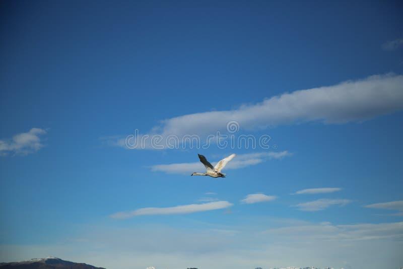在天空的飞行的天鹅 库存照片
