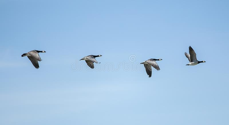 在天空的飞行鹅 库存图片