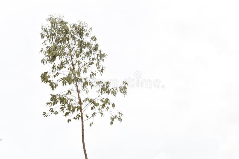 在天空的高玉树 免版税库存照片
