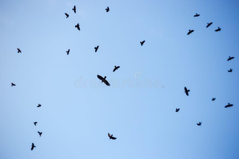 在天空的黑乌鸦 库存照片