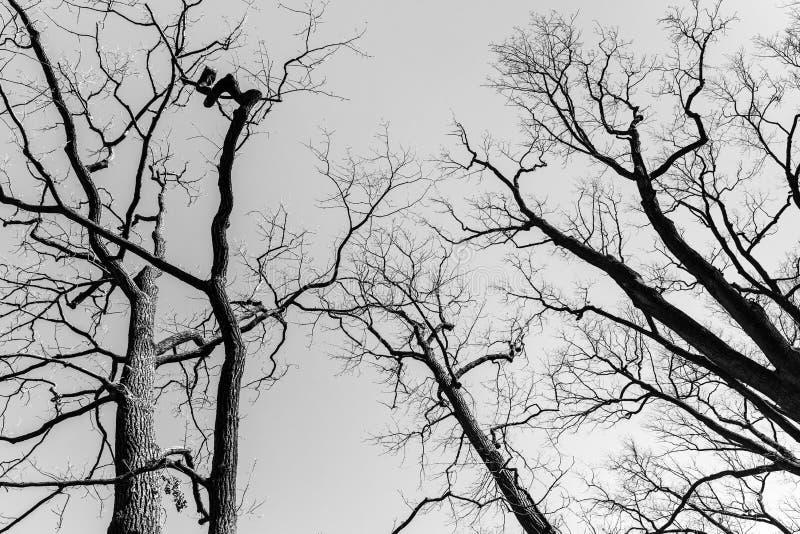 在天空背景的不生叶的胆敢树 黑色白色 免版税库存照片