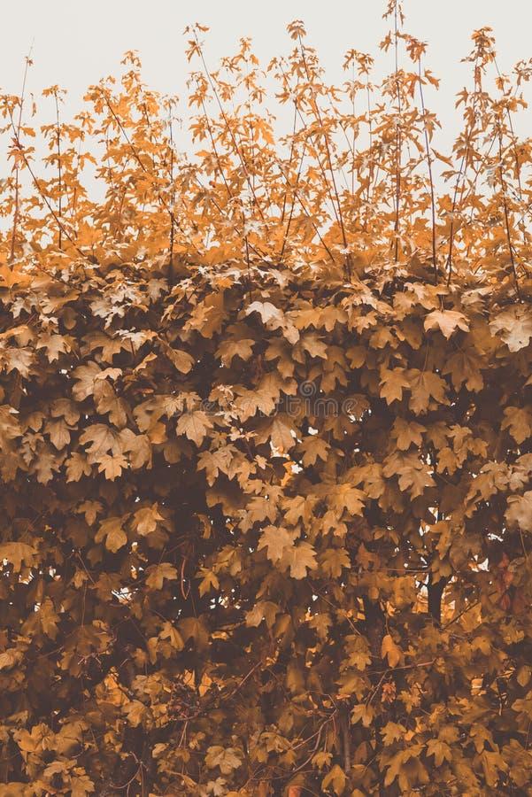 在天空背景的秋天黄色灌木  图库摄影
