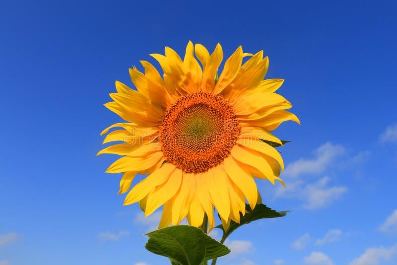 向日葵种子_在天空背景的美味的向日葵