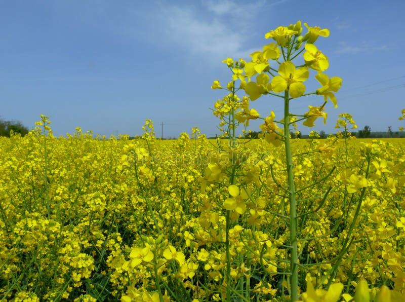 在天空蔚蓝下的明亮的黄色开花的油菜籽油菜领域 免版税库存照片