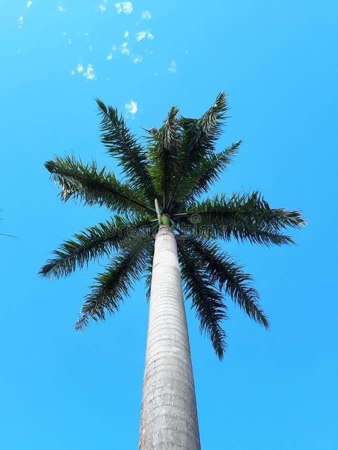 在天空蔚蓝下的椰子 库存照片