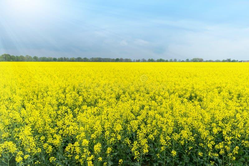 在天空蔚蓝下的油菜领域 免版税库存图片