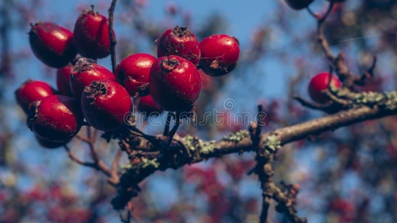 在天空蔚蓝下的红色野玫瑰果在秋天 库存图片