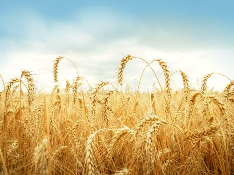 在天空蔚蓝下的麦子耳朵 免版税图库摄影