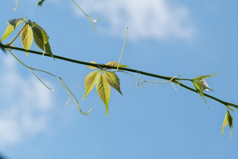 在天空蔚蓝的新鲜的绿色叶子 免版税库存照片