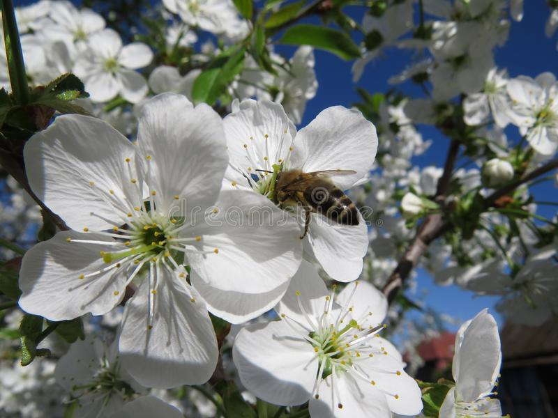 在天空蔚蓝的樱花特写镜头在春日 库存照片