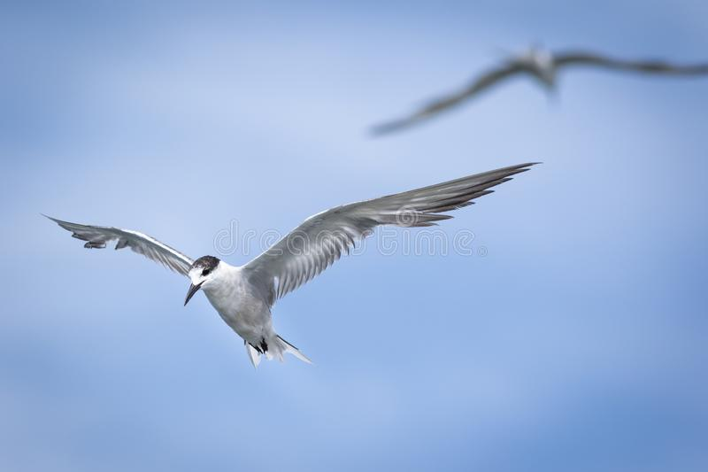 在天空蔚蓝的海鸥 免版税库存照片