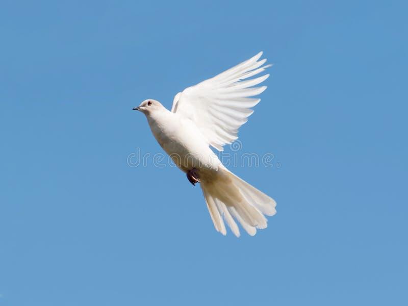 在天空蔚蓝的白色鸠 欧亚抓住衣领口的鸠,在飞行中罕见的白变种标本 库存照片