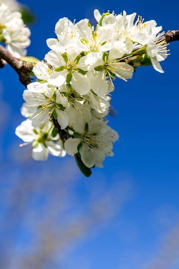 在天空蔚蓝的白花 免版税库存照片