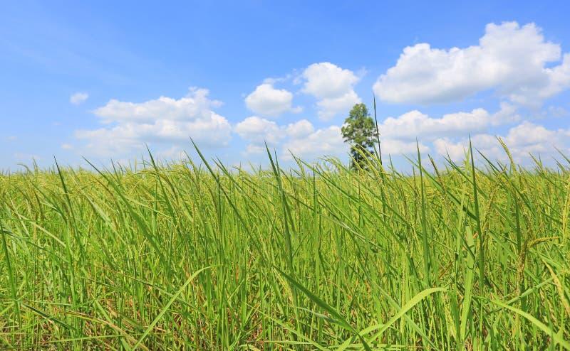在天空蔚蓝的美丽的松的云彩在年轻绿色水稻领域和树 风景夏天场面背景 免版税库存照片