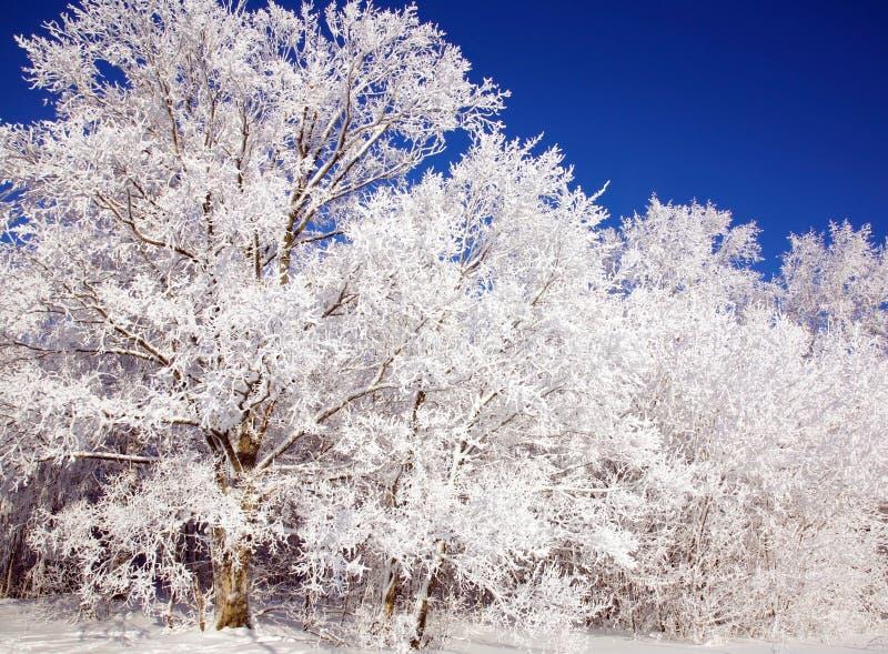 在天空蔚蓝的美丽的积雪的冬天树 免版税库存照片