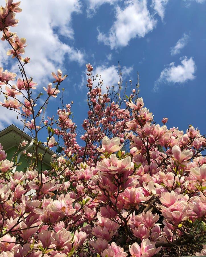 在天空蔚蓝的背景的木兰 免版税库存照片