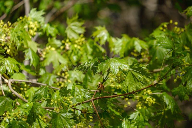 在天空蔚蓝背景的年轻新鲜的绿色mapple树叶子 免版税库存照片