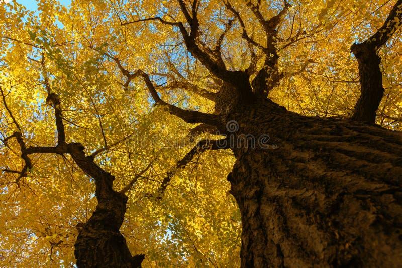 在天空蔚蓝,在机盖的黄色叶子的银杏树树 免版税图库摄影