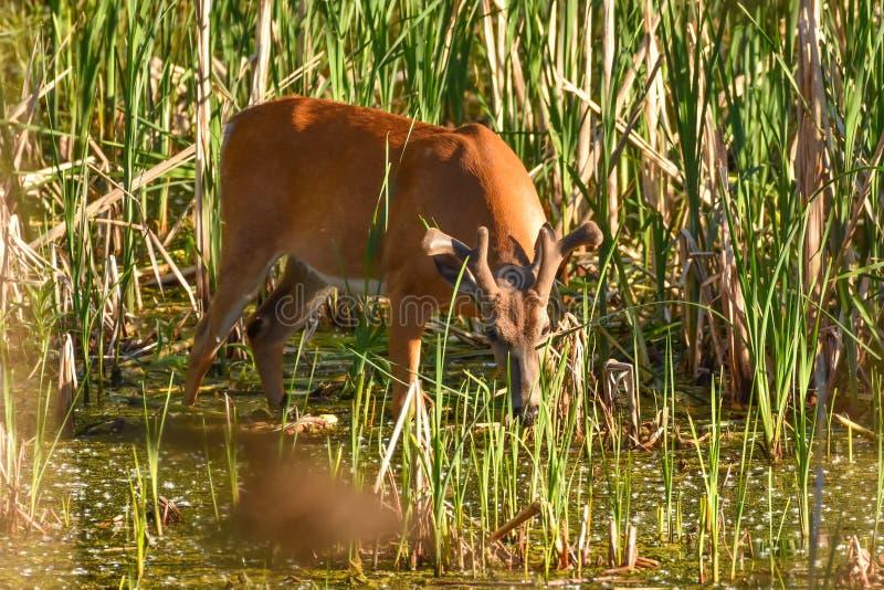 在天鹅绒的白尾鹿大型装配架在沼泽 免版税库存照片
