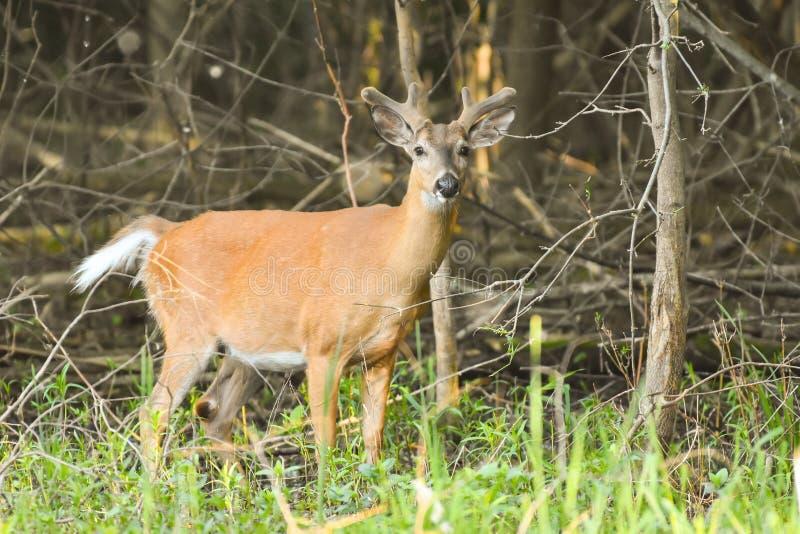 在天鹅绒的白尾鹿大型装配架在沼泽 库存照片