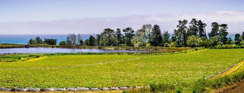 在太平洋海岸的有机草莓领域,在圣克鲁斯附近,加利福尼亚 免版税库存照片