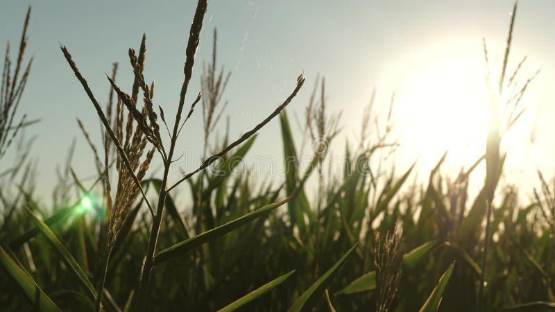 在太阳下明亮的光芒的玉米绽放  甜玉米领域在夏天 r 在明亮的光芒下的玉米绽放 免版税图库摄影