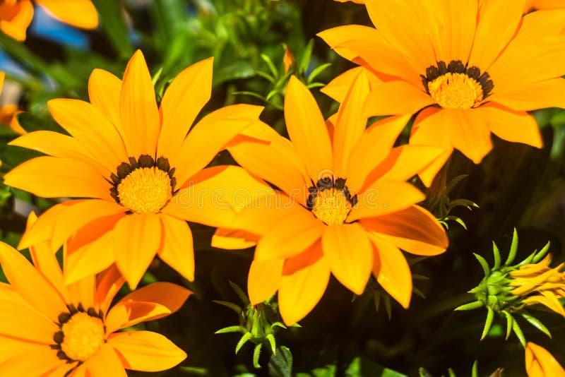 在太阳下的Daisys 免版税库存照片