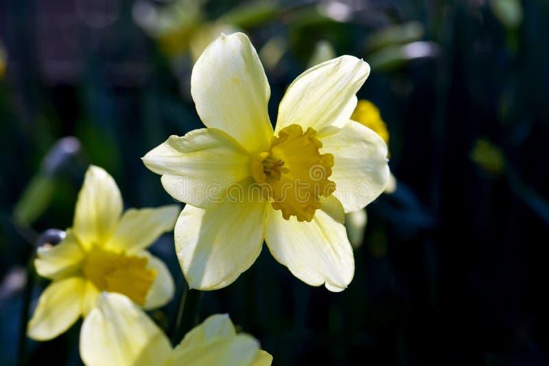 在太阳光的黄色黄水仙 库存照片