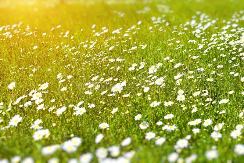 在太阳光芒的光芒的美丽的野生雏菊 库存图片