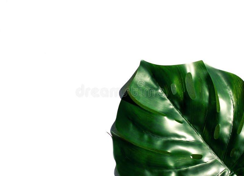 在太阳的叶子monstera 库存图片