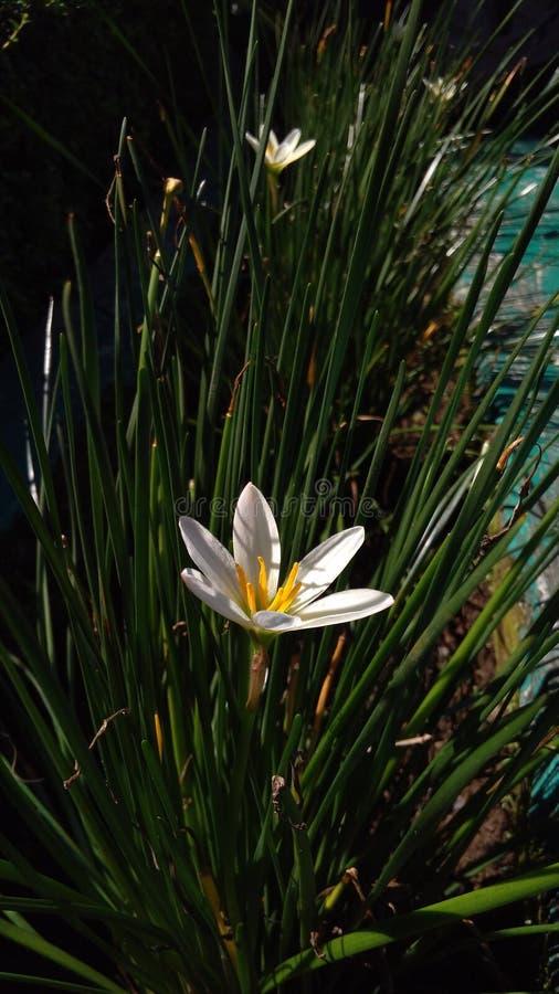 在太阳的白色黄色花 库存照片