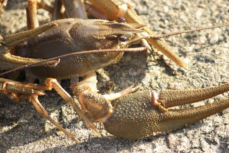 在太阳的闪耀光芒的活小龙虾 库存照片