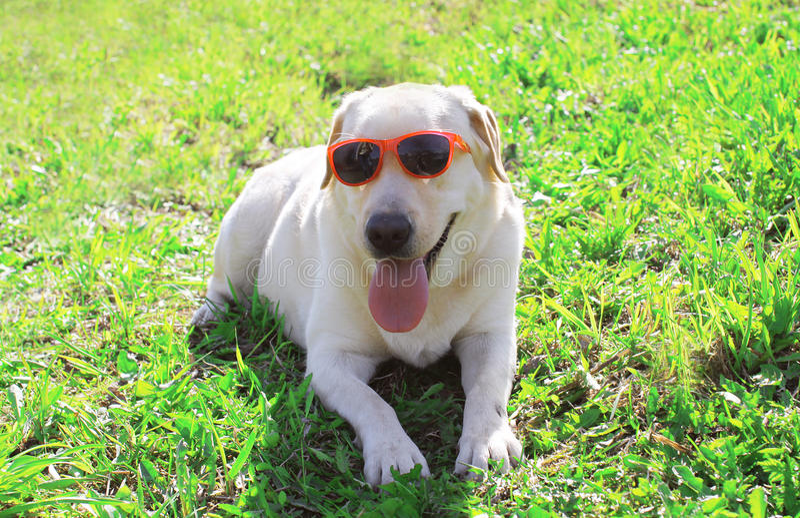 在太阳镜说谎的滑稽的拉布拉多猎犬狗 免版税库存图片