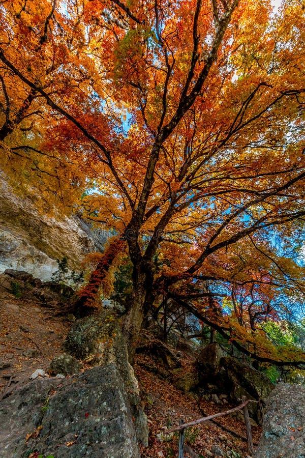 在失去的槭树国家公园,得克萨斯的明亮的橙色叶子 免版税库存照片