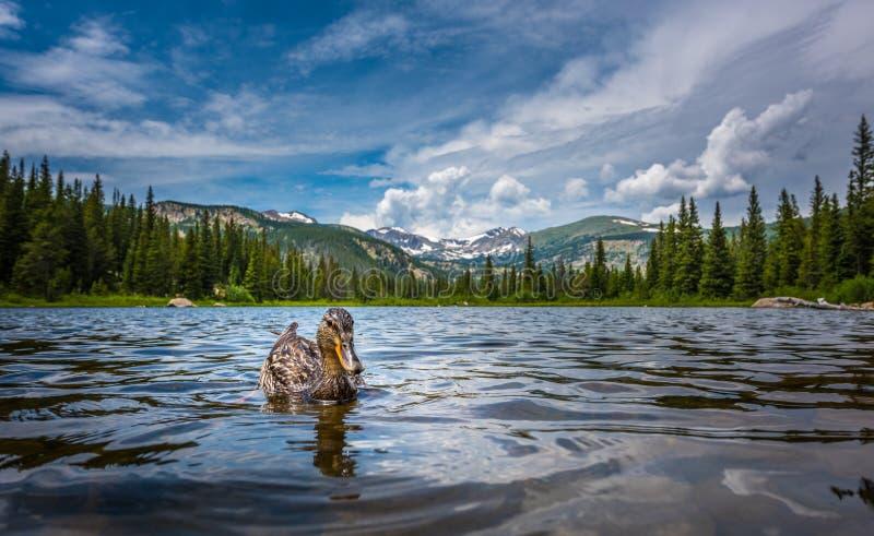 在失去的湖科罗拉多的野鸭鸭子 库存照片