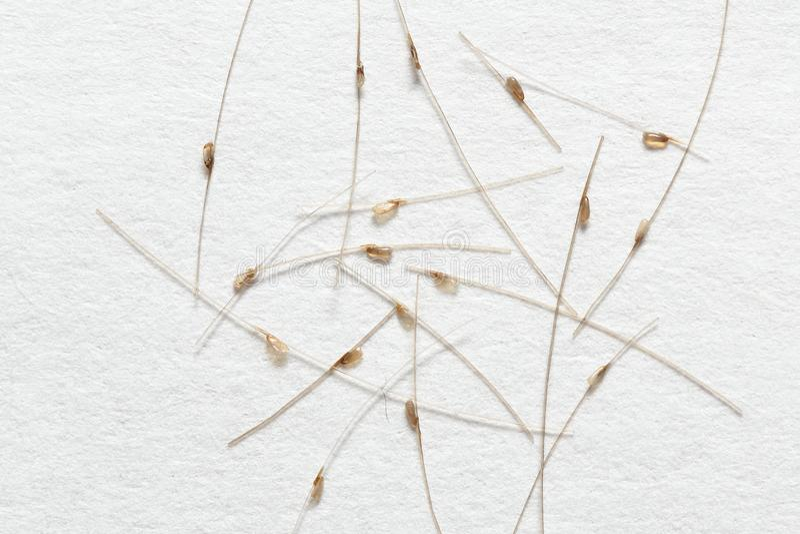 在头发的幼虫,在白皮书背景 免版税库存照片