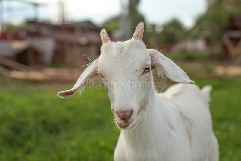 在头的年轻山羊孩子细节有农场的在背景中 免版税库存照片