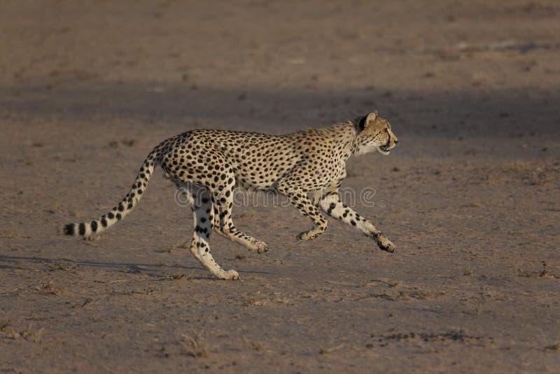 在奔跑的猎豹,追逐牺牲者 免版税库存图片