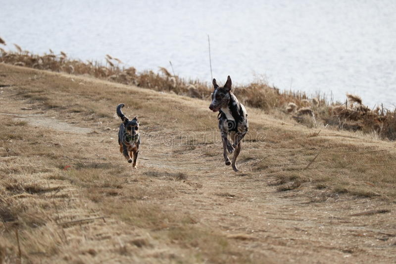 在奔跑的糖小狗 库存图片